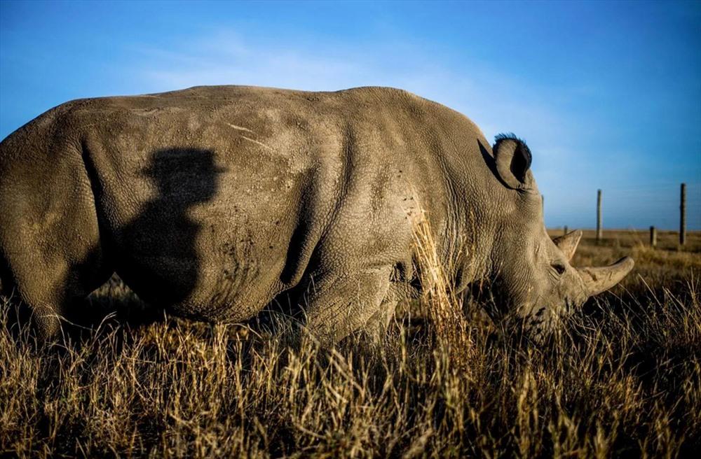 Bóng của ông Zacharia Kipkirui, một người bảo vệ, khi con tê giác Najin đi ngang qua. Ông Kipkirui đã làm việc ở khu bảo tồn được 14 năm, chăm sóc cho Fatu và Najin kể từ ngày đầu tiên chúng được đưa đến đây vào năm 2009. Ảnh: Justin Mott/Washington Post.