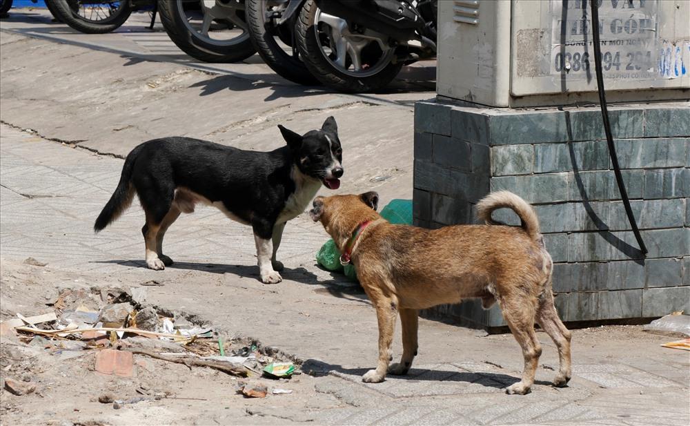 Theo ghi nhận của phóng viên  tại nhiều địa điểm trên tuyến đường Cao Thắng, 3/2 thuộc quận 10, 11  vẫn diễn ra tình trạng chó được người dân thả rông và không hề được rọ mõm.