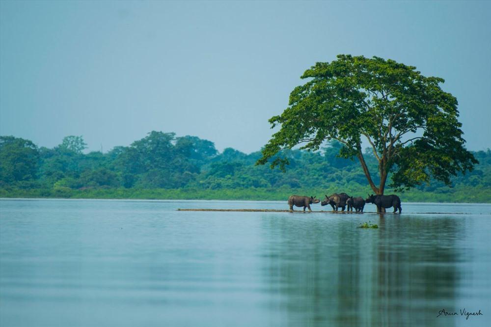 Tê giác một sừng ở vườn quốc gia  Kaziranga đang tránh lũ. Ảnh CNN, AFP.