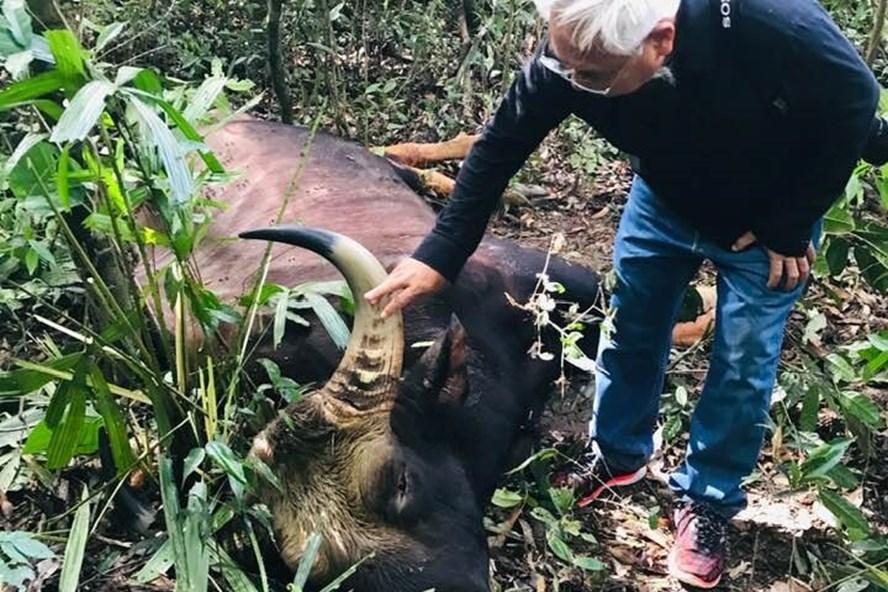 Cá thể bò tót nặng 800 kg được xác định nguyên nhân ban đầu chết do già tuổi_Ảnh: M.T