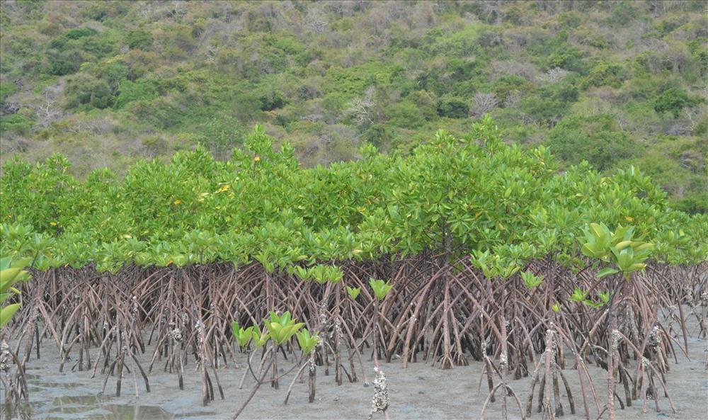 Sau một thời gian trồng mới và phục hồi, rừng đước đã phủ xanh tại nhiều khu vực của đảo. Ảnh: Châu Tường