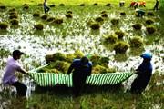 Kiên Giang: Mưa dông đe dọa hàng chục nghìn ha lúa
