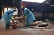 Dịch tả lợn Châu Phi hoành hành, hộ chăn nuôi nhỏ lẻ không vội tái đàn