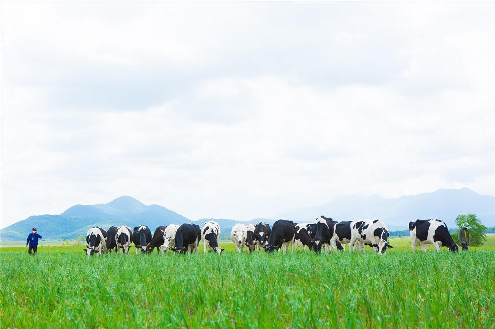 """Bò sữa Organic được chăn thả trên những đồng cỏ yến mạch tại """"Resort"""" bò sữa của Vinamilk tại Lào"""