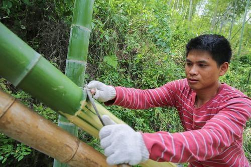 Người dân nơi đây khai thác tre từ rừng tre mọc bên ngoài làng để làm nguyên liệu sản xuất giấy.