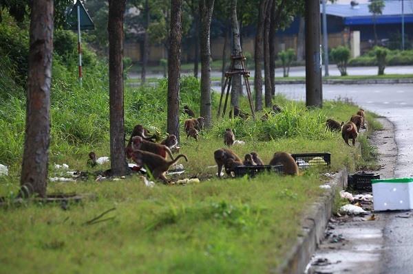 Có những bầy khỉ kéo nhau xuống tận đường vào cảng Tiên Sa để kiếm ăn