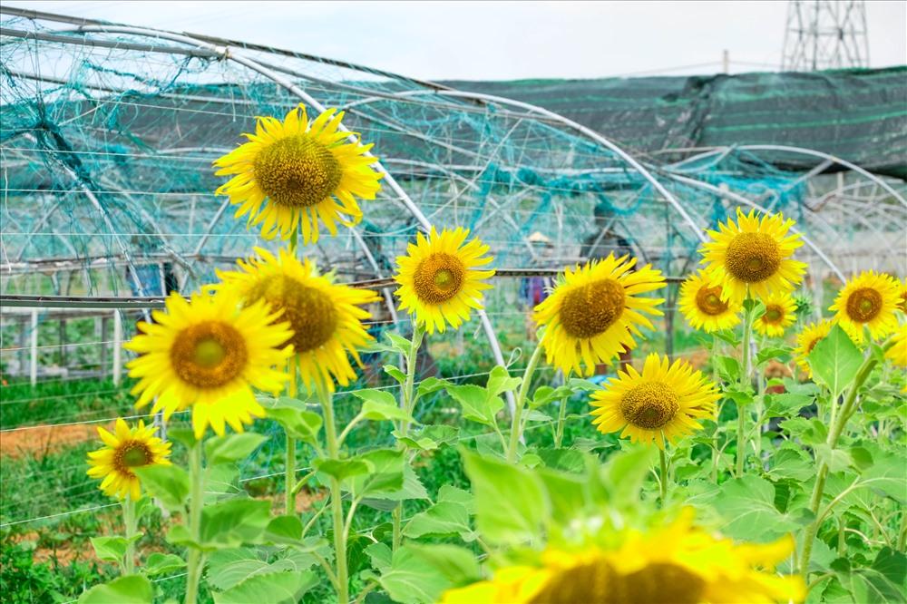 """Hoa hướng được anh Thịnh trồng với mục đích có thể thu hút các loại côn trùng, sâu bọ nhằm tránh gây hại tránh cho vườn rau quả xunh quanh. Tuy nhiên, vườn hướng dương đã tạo nên một cảnh sắc tuyệt vời khiến nhiều người dân và du khách đổ xô đến """"sống ảo""""."""