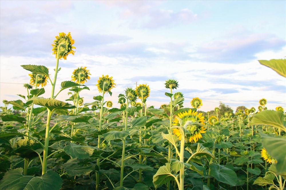 Với đặc điểm luôn hướng về phía mặt trời nên hoa hướng dương được coi là biểu tượng cho niềm tin và hi vọng.
