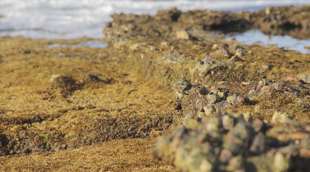 Người dân Nhơn Hải khẳng định, bờ thành này không xây bằng đá hoặc gạch mà bằng hồ vữa đặc nguyên khối. Ảnh: N.T
