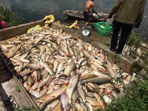 Ao cá thịt bị chết.