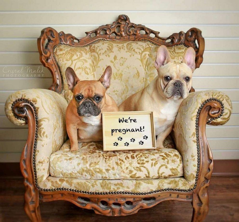 Được biết, tuần trước, Cozette đã sinh ra ba chú chó con và Malek cũng đã có mặt để chụp ảnh các chú chó nhỏ. Trong ảnh là Cozette và chú chó bull Pháp đực tên Boudreaux khi chụp ảnh bầu. Ảnh: ABC.
