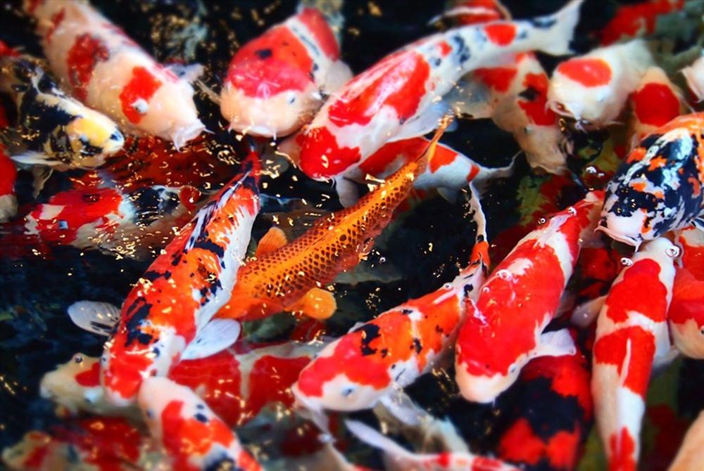 Cá Koi của Nhật Bản.
