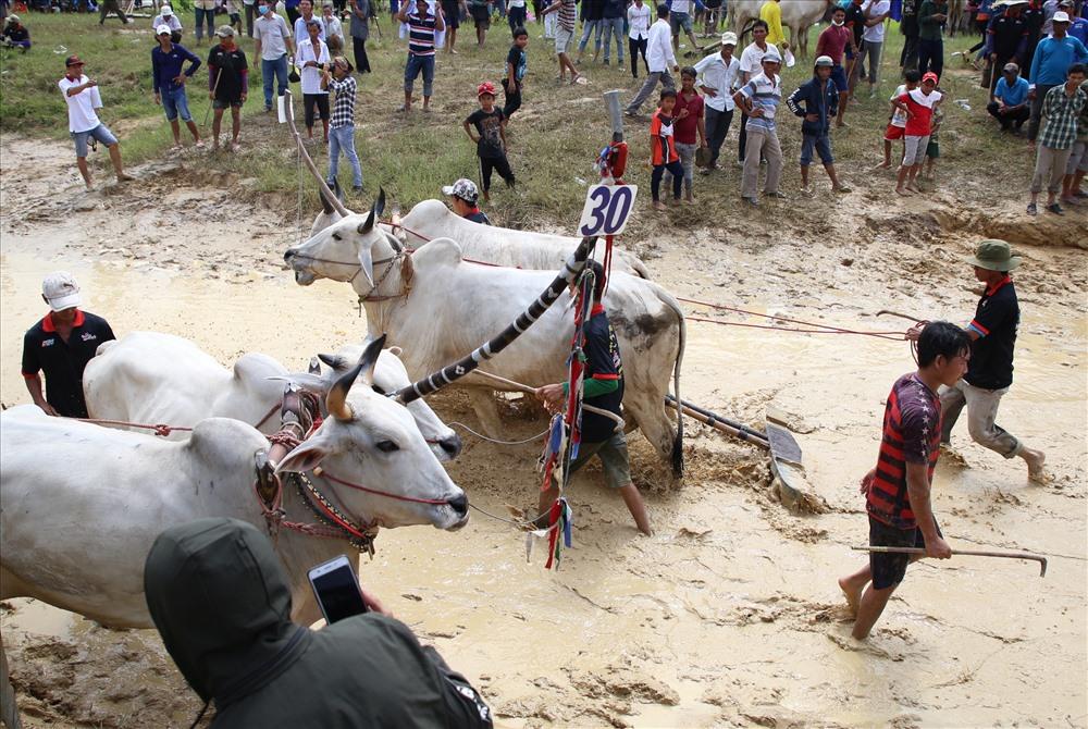 Những đôi bò thắng cuộc thì vào nghỉ ngơi, chuẩn bị cho vòng trong, còn đôi bò thua cuộc thì được chủ dắt ra ngoài. Ảnh: Hưng Thơ.