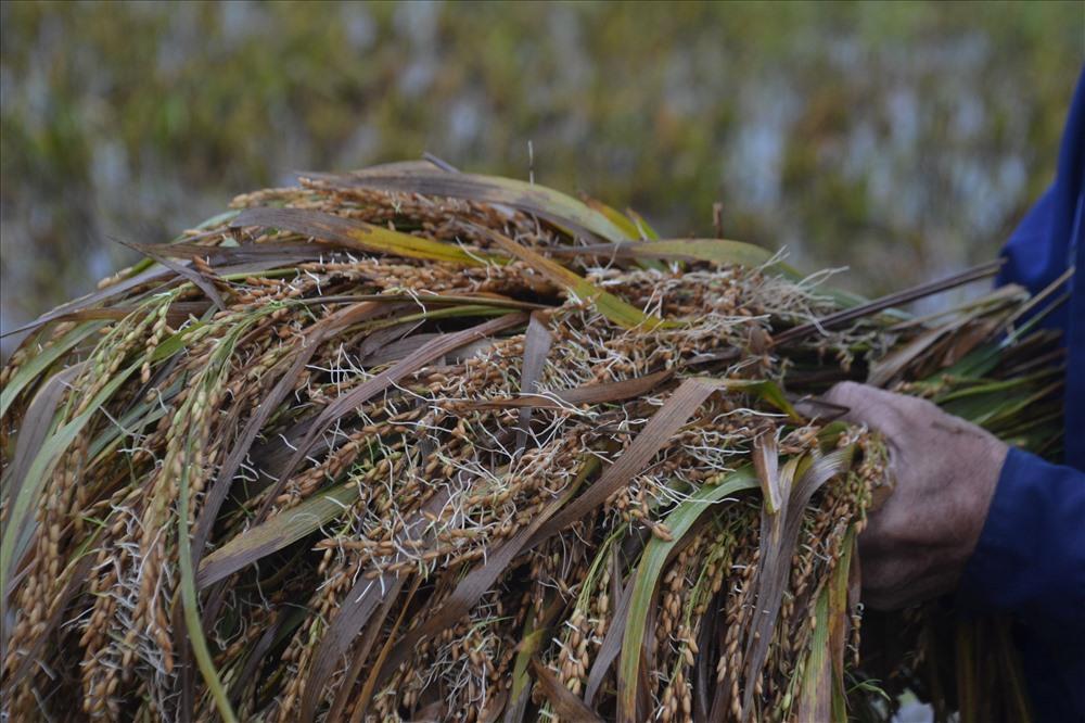 Nhiều diện tích lúa đã bị lên mầm do ngâm nước lâu ngày. Ảnh: ĐQ.
