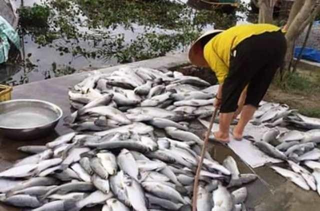 Cá nuôi trong lồng của 53 hộ dân xã Thạch Sơn chết hàng loạt, thiệt hại rất lớn.