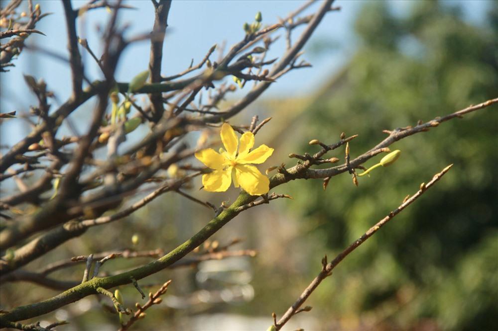 Năm nay thời tiết nắng nóng nên hoa mai ở nhiều nhà vườn nở sớm, một số nhà vườn hái lá chậm hơn một vài ngày để tránh hoa nở sớm trước Tết Canh Tý 2020.