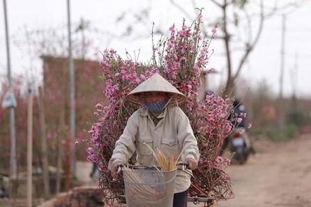 Đào Nhật Tân khoe sắc đón mùa xuân về