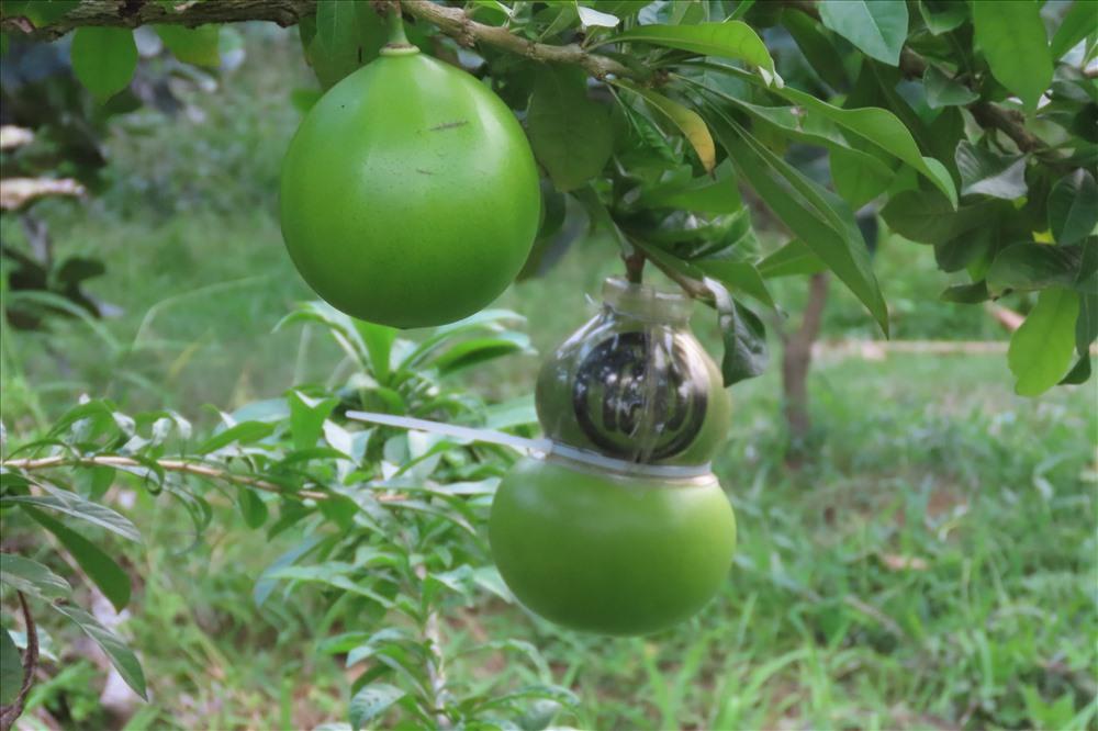 Để có được trái đào đẹp trưng tết trái đào phải nằm riêng trên một nhánh cây có  cuống dài để khi cắt trái có thể kèm lá trưng trên bàn đẹp hơn. Những trái cuống ngắn ông sẽ không chọn làm đào, mà để dành lại qua tết bán cho các cơ sở y tế làm thuốc. Ảnh: S.H