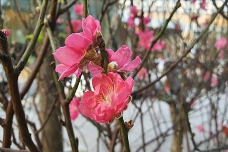 Đào Thất Thốn của Trung Quốc giá hàng triệu xuất hiện trên đường phố TPHCM