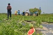 Một số mặt hàng nông sản vào vụ thu hoạch bị ảnh hưởng do dịch Corona