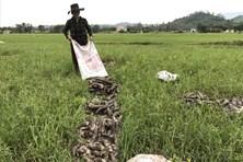 Người dân Quảng Nam ngậm ngùi mang hàng trăm tấn sắn đi đổ
