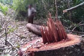 Gỗ quý trong rừng đặc dụng gắn liền với căn cứ TW Cục Miền Nam bị đốn hạ