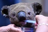 Nóng nhất hôm nay: Hơn 100 loài động vật cần hỗ trợ sau cháy rừng Australia