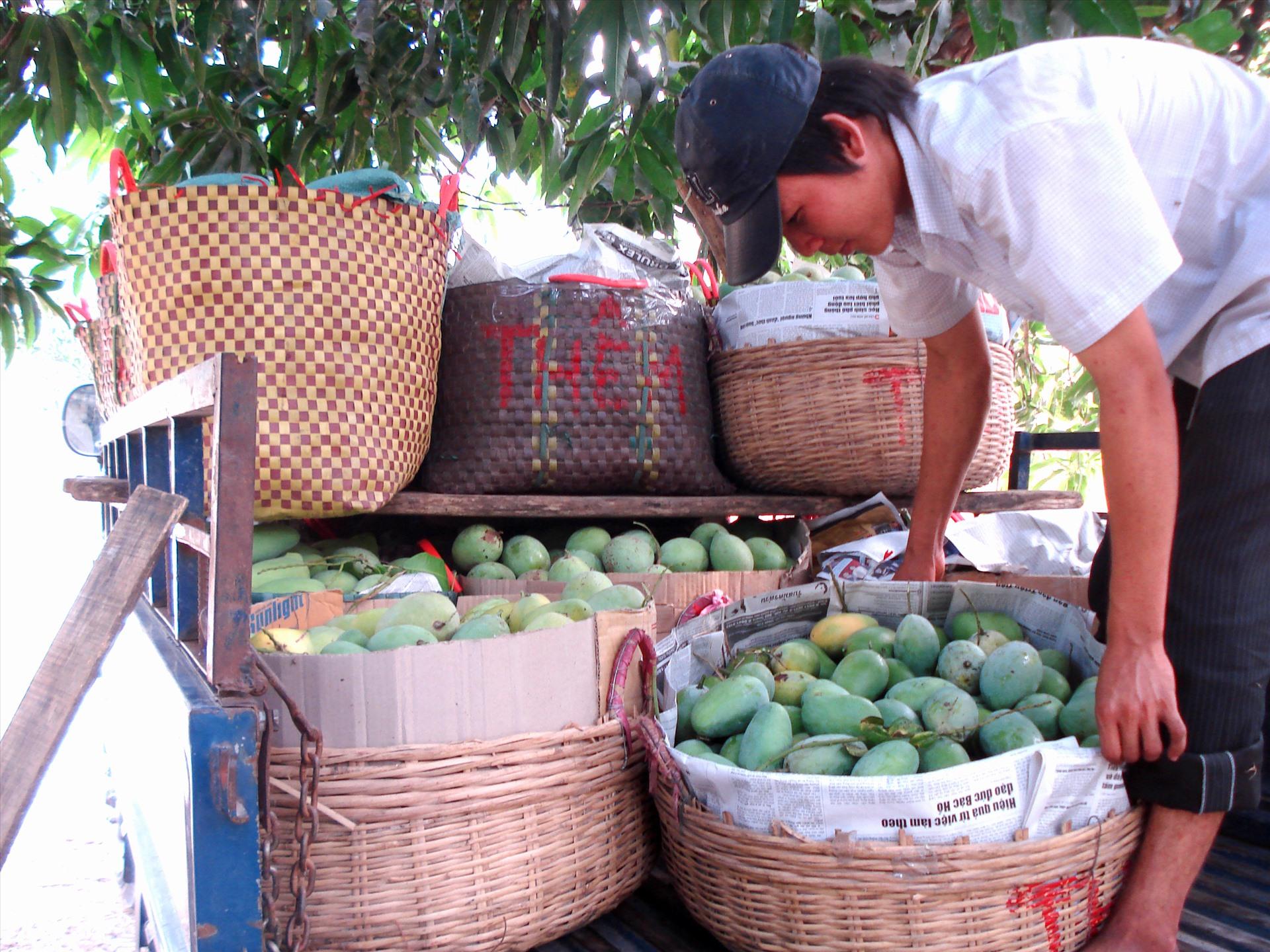 Nhiều địa phương ở An Giang đang vào giai đoạn thu hoạch xoài. Ảnh: LT