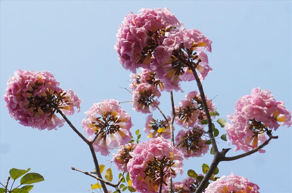 Kèn hồng gần giống hình chuông, mọc thành chùm 4 - 7 bông. Khi cây ra hoa, hầu hết lá đều rụng, trên đầu mỗi cành chỉ nhìn thấy những cụm hoa tím tím hồng hồng đẹp mắt.