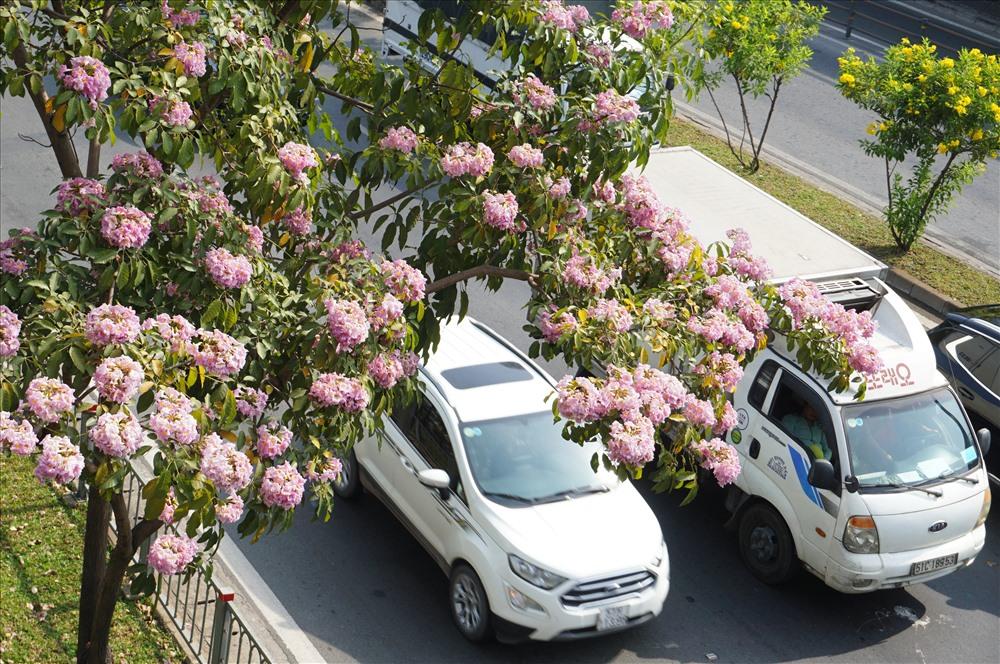 Vừa rợp bóng mát ven đường, vừa nở hoa làm cho tuyến phố thêm phần sắc màu.