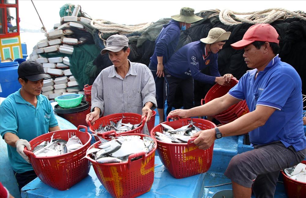 Tàu QNg 91757 công suất 750CV của ngư dân Quảng Ngãi thì ra biển cách đây 5 ngày. Khi đánh được 15 tấn cá, đầy khoang thì tàu cập bến ở Quảng Trị để bán cá.