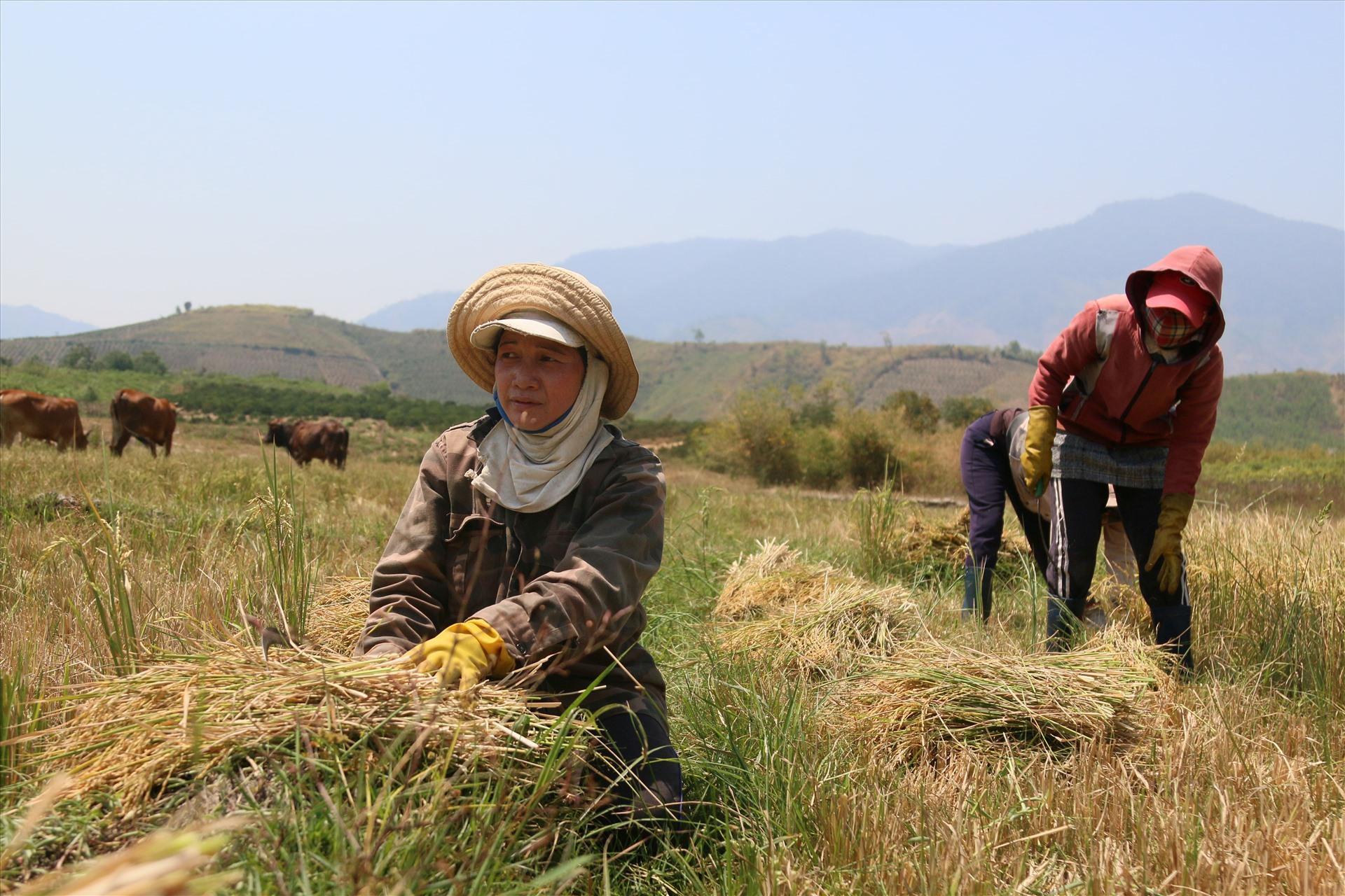 Chị H'Duen - Drao ( ngụ buôn Khoắh, xã Cư Pui) tâm sự, hiện vựa lúa đông xuân của cả xã đang đến mùa thu hoạch nhưng gặp hạn hán nghiêm trọng, không đủ nước tưới nên lúa chết khô rất nhiều, đành xua bò ra ăn cho đỡ phí. Đã 4 tháng nay khu vực này không có lấy một giọt mưa.