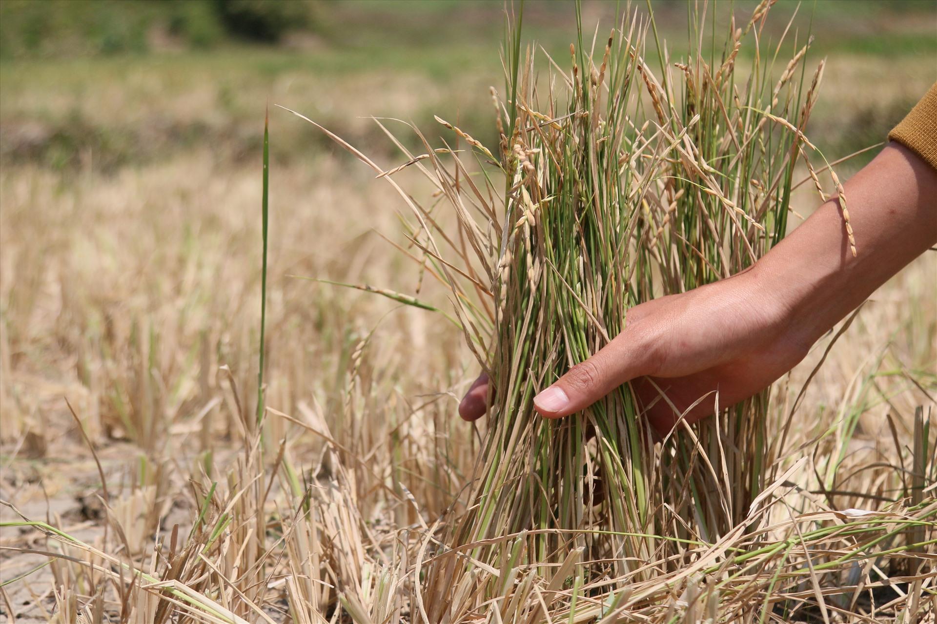 Theo Theo thống kê của Phòng Nông nghiệp và Phát triển nông thôn huyện Krông Bông, toàn huyện có 260ha cây trồng ngắn ngày bị khô hạn, trong đó có đến hơn 150ha lúa nước.