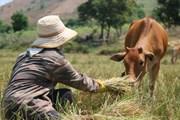 Mùa khô hạn, người dân đau xót dành 8 tiếng mỗi ngày cắt lúa cho bò ăn