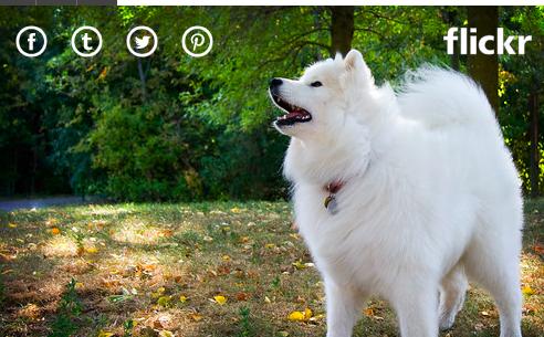 10. Chó Samoyed: Giá: 4.000 - 11.000 USD (92 - 253 triệu đồng) Giống chó có bộ lông tuyệt đẹp này được nhân giống ở Siberia để giúp đàn tuần lộc và kéo xe trượt tuyết. Bộ lông trắng tuyệt vời của chúng có kết cấu mềm mại đến nỗi một số người thậm chí còn sử dụng nó để đan. Và cái miệng hếch của họ trông giống như một nụ cười.