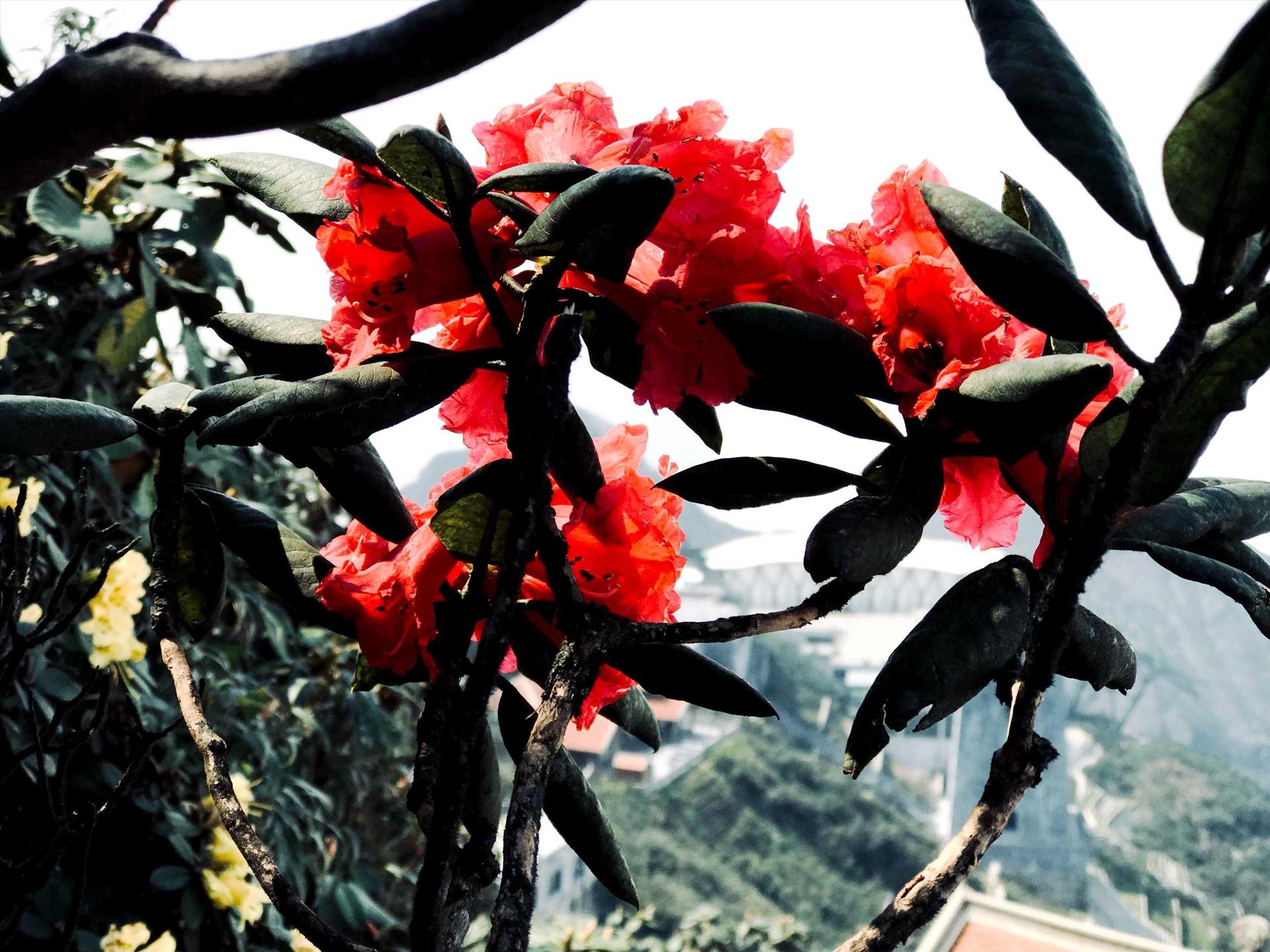 """Khác với hoa ban mong manh, yểu điệu, """"nữ hoàng"""" đỗ quyên sở hữu vẻ đẹp căng tràn sức sống pha chút mạnh mẽ, quyền lực với nhiều màu sắc."""