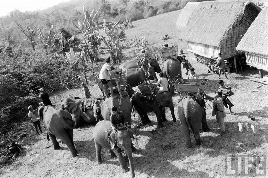 Hình ảnh nài voi huấn luyện voi rừng vừa được thuần hóa.