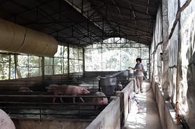 Sau dịch tả lợn Châu Phi: Nông dân gặp nhiều khó khăn khi tái đàn
