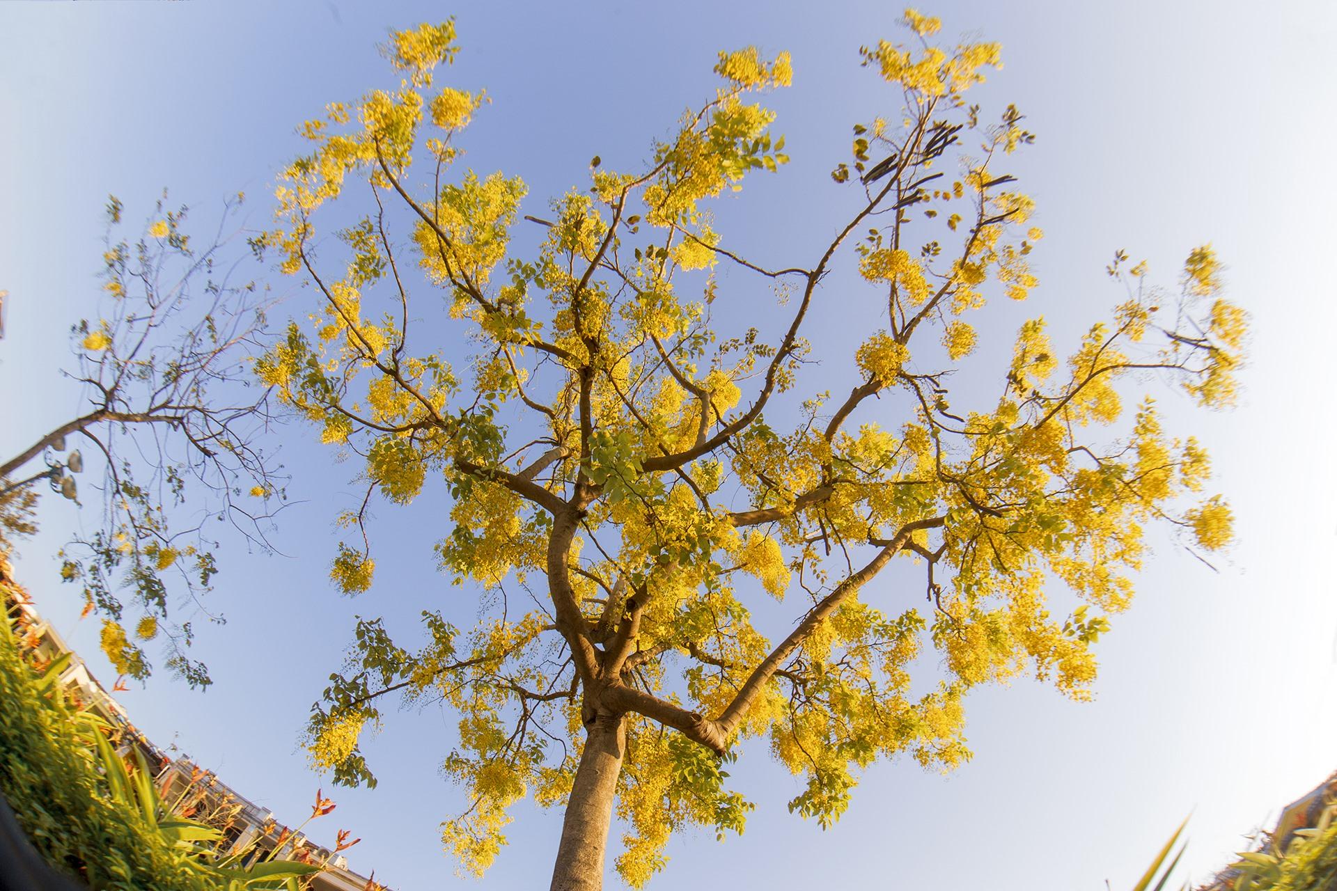 Khi nở hoa, Hoàng yến như đổ màu xuống phố với những chùm hoa vàng. Ảnh: Lê Tuấn