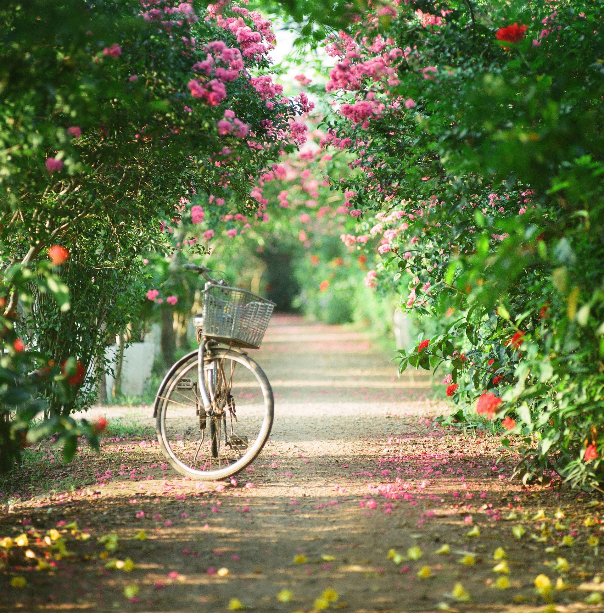 Cách trung tâm Hà Nội khoảng 10km, con đường hoa tường vi ở xã Tam Hiệp (Thanh Trì – Hà Nội) là một trong những điểm đến thu hút nhiều du khách. Ảnh: Võ Trọng Sơn