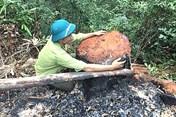 Phá rừng tại Quảng Bình: Bảo vệ hiện trường, làm rõ trách nhiệm