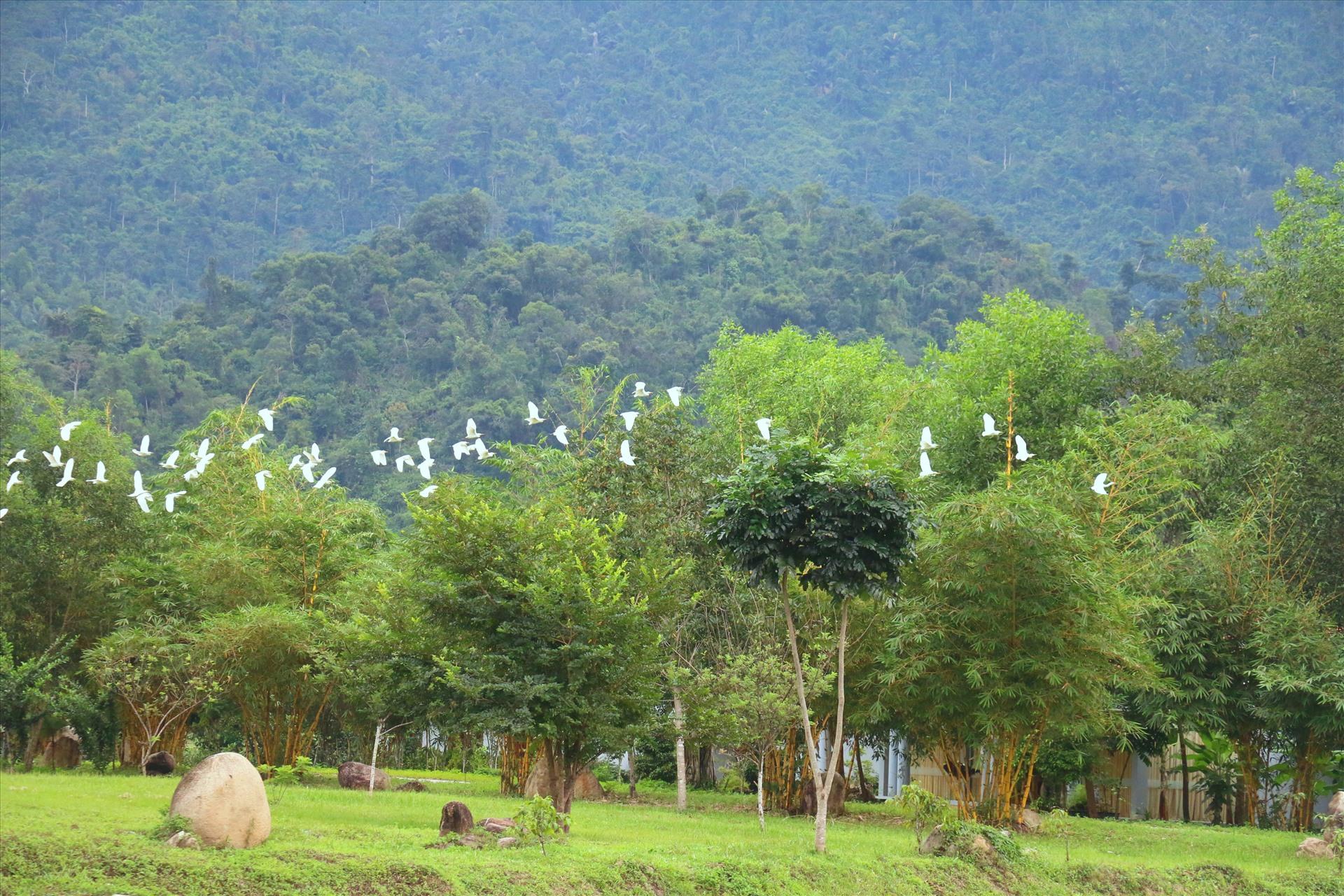 Đàn cò trắng trên khu vườn tiên. Ảnh: Hải Anh
