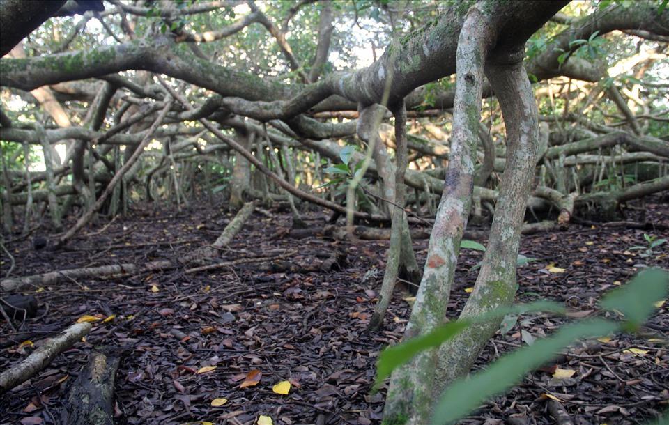Với các cành uốn lượn, ngoằn ngoèo nên khi du khách vào khu di tích Giàn Gừa như lạc đến một ma trận chằng chịt. Có lẻ đây là cây Gừa có tán rộng thuộc dạng 'có một không hai' ở miền Tây.