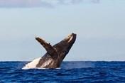 Australia: Cá voi lưng gù quẫy đuôi khiến nữ du khách gãy xương sườn