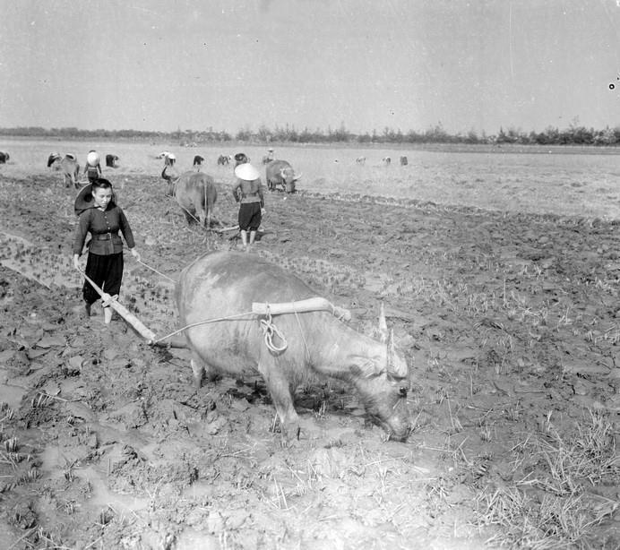 Thu hoạch lúa chiêm tại HTX Phù Chính, Vĩnh Phúc năm 1968.