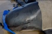 Australia bắt đầu xử lý xác của hàng trăm con cá voi