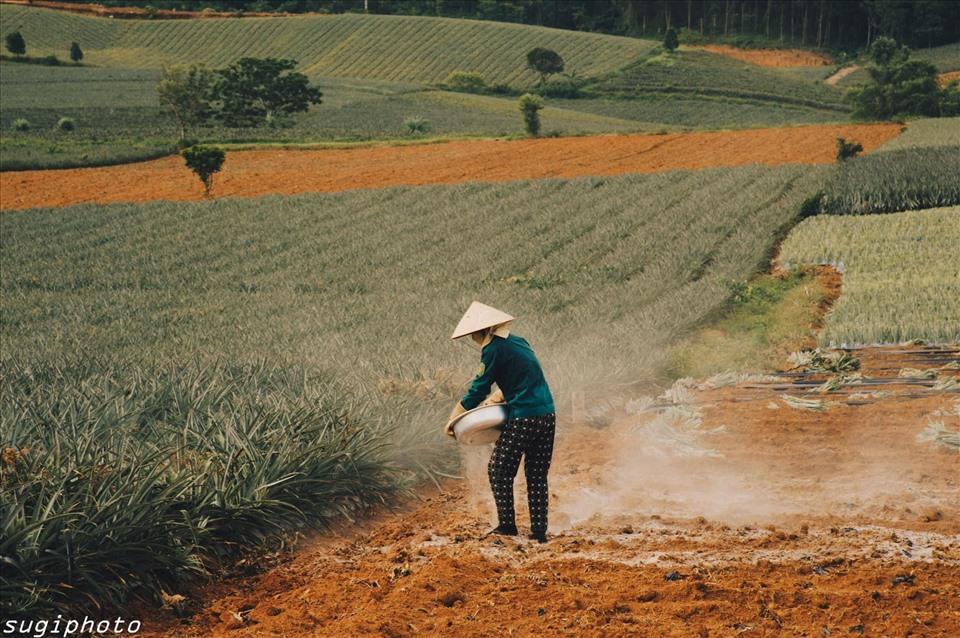 Tổng diện tích của nông trường khoảng 5.500 ha với khoảng 1.800 hộ chuyên làm nghề trồng dứa.