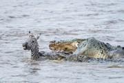 """Kết cục bi thảm của ngựa vằn khi liều lĩnh vượt """"sông cá sấu"""""""