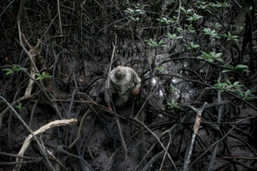 Người thợ săn cua đang cố gắng kiếm sống giữa trùng điệp rễ đước.