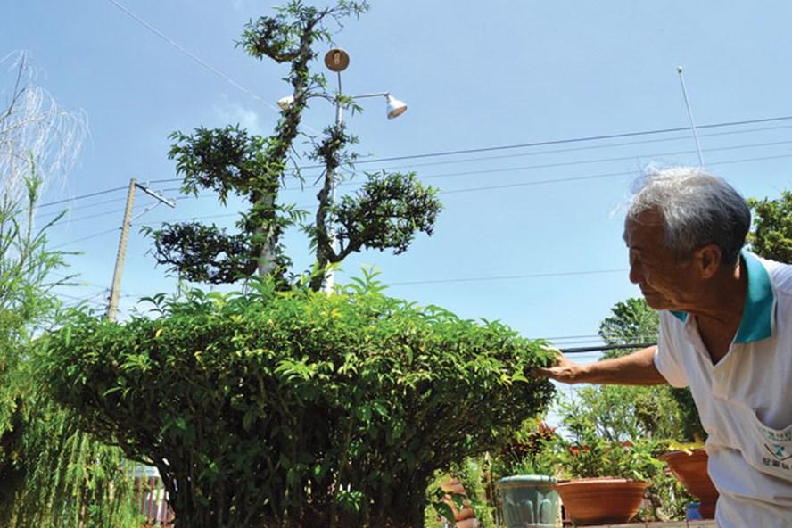 """Cận cảnh thế rễ """"chân nôm"""" của cây kiểng."""